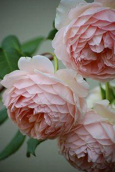 Blush pink english roses #beautifulflowerslove