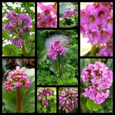 bergenia - shady pots on the porch Shade Flowers Perennial, Flowers Perennials, Rabbit Resistant Plants, Purple Flowers, Make It Yourself, Housewife, Calgary, Garden Ideas, Pots