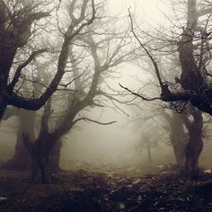 Old trees in the mist