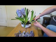 Hyacinth Care, After Flowering - YouTube