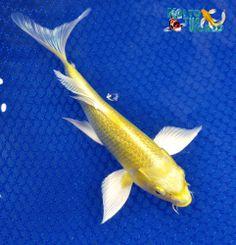 1000 images about koi fish on pinterest koi koi ponds for Koi yamabuki