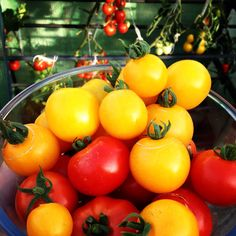 Tomato harvest from back in autumn... love the colours! #growyourown