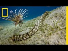 This Bizarre Sea Creature is Snake-like and Has Tentacles | National Geographic #news #alternativenews