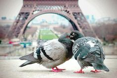 Even the pigeons feel the Romance at the Eiffel Tower ... ♥ | Most Beautiful Pages