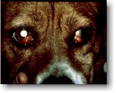 Cherry Eye in Pets