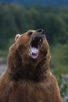 1179272. Brown bear growling standing up Alaska