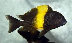 Wild imported Tropheus species in stock for sale. Check other Rare African Cichlid Species from West Africa, Lake Malawi, Lake Victoria, Lake Tanganyika and the Rift Lakes. Cichlid Aquarium, Cichlid Fish, Discus, Malawi Cichlids, African Cichlids, Fish Sketch, Lake Tanganyika, Fish Wallpaper, Cool Fish