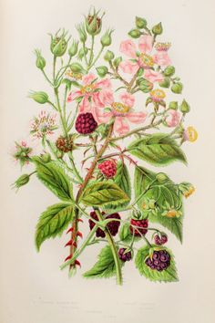 Anne Pratt Antique Botanical Print Blackberry by PaperPopinjay