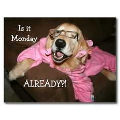 Golden Retriever Is It Monday Already Postcard by #AugieDoggyStore