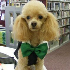Library poodle!