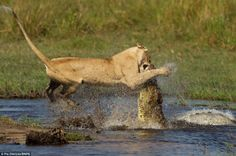 Struggle: The power and strength of the mighty lioness is clear to see, but the crocodile fights back, clamping its teeth around the big cat's nose
