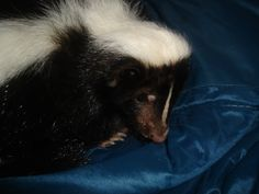 Marigold the pet skunk in a sleeping bag...