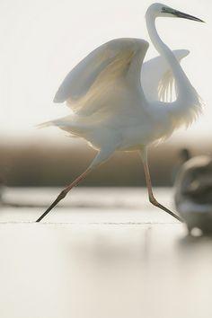 Great egret, Ägrett häger