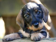 Willow Springs Dachshunds, breeder of miniature and standard wirehaired dachshunds from quality european champion lines. Dachshund Gifts, Funny Dachshund, Mini Dachshund, Daschund, Teacup Dachshund, Dachshund Breeders, Willow Springs, Miniature Dachshunds, Weenie Dogs