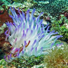 Anemone ...Coral reef, Providencia island, caribbe, Colombia