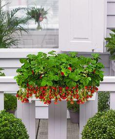 Balkonkasten mit 8 Erdbeerpflanzen