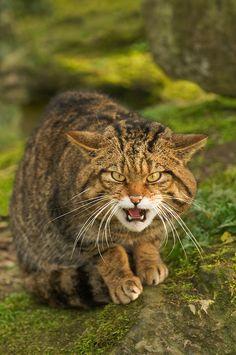 Scottish wildcat (Felis silvestris). Adult male snarling. Captive