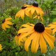 Butterfly friendly plant. Click image to learn more and to add to your own plants list. Rudbeckia fulgida var sullivantii 'Goldsturm' forms large black-eyed, single, yellow daisy flowers with a long-flowering season.