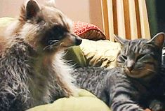 """arikaftermath:  This raccoon never left the side of a cat who was dying of a tumor. The cat was comforted for the final hours of her life by her long time friend.   """
