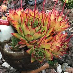 """Succulent Fairy (@thesucculentfairy) on Instagram: """"Rooster crying for help, carrying my stressed Echeveria agavoides Lipstick."""""""