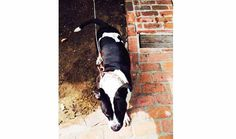 Lost Dog - Boston terr/pit in Studio City, CA Pet Name: Moxie  Date Lost:	July 26, 2014 Breed:	Bostonterr/pit Gender:	Female Age:	3 Color:	Black And White Last Seen:	12120 hollyglen place Studio city, CA 91604 Description:	Big black and white boston terroir pit bull mix. Her name is moxie and she is very friendly.