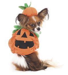 Pumpkin Pet Halloween Costume For Max Gieser