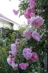 Månedens rose - www.oslorose.com