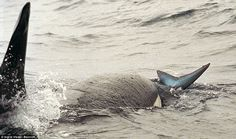 Young Killer Whales Take On a Shark; They Are Not Playing With Their Food
