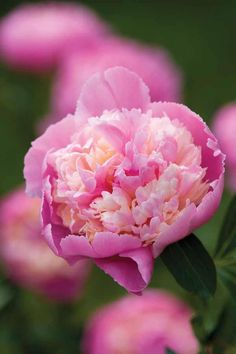 Peony 'Sorbet' is a huge-flowered and complex peony with petals in pink and cream. This is said by cut flower growers to be one of the very best for cutting.