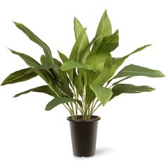 "GAAP30-30G Garden Accents 30"" Aspidistra Plant in Black Pot - Green"