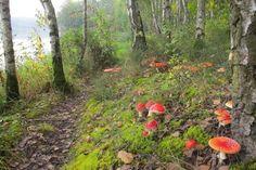 muchomůrky v lese