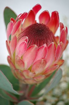 Named after the Greek God Proteus, these are the best known of the Protea family. Another 82 types of Protea are found in South Africa (mainly in the Cape … Continued Flor Protea, Protea Art, Protea Flower, My Flower, Flower Art, Tropical Flowers, Exotic Flowers, Amazing Flowers, Beautiful Flowers