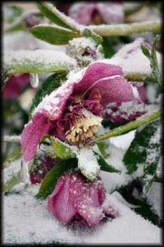 snow-covered hellebores