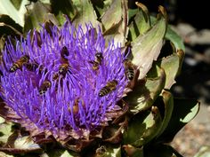 The pollen on the purple, spiky artichoke flowers has attracted honey bees and native bees in droves! I'm shocked at just how many buzzing bees are trying to cram in there at once.