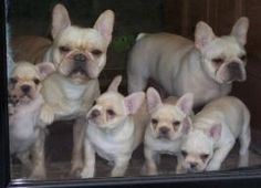Champy and Sweet Pea with Velvet and her other WeBe litter-mates #FrenchBulldog