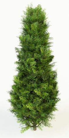 thuja occidentalis columna Model available on Turbo Squid, the world's leading provider of digital models for visualization, films, television, and games. Tree Photoshop, Photoshop Images, Thuja Occidentalis, Cool Pictures Of Nature, Wedding Album Design, Tree Clipart, Garden Illustration, Tree Silhouette, Image Hd
