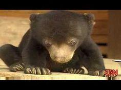 (CUTE VIDEO) Cute bear can't stay awake. #aww #cuteanimals