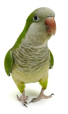 Shop by Parrot. Parrot shop with Parrot & Bird supplies for all Parrot species, listed by type of bird. Choose toys, food or cage that suits your Parrot. Funny Birds, Cute Birds, Pretty Birds, Beautiful Birds, Funny Animals, Parrot Toys, Parrot Bird, Best Pet Birds, Monk Parakeet