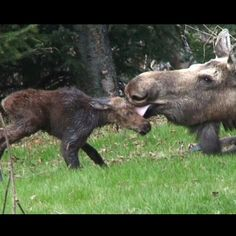 Newborn baby moose calf and his beautiful momma moose