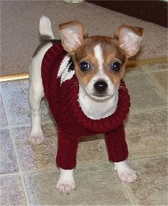 Taco Terrier: Chihuahua-Toy Fox Terrier crossbreed