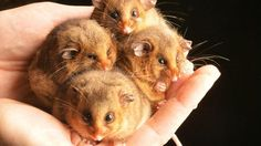 The cutest little handful of Mountain Pygmy Possums! Copyright Rob Leeson Herald Sun