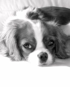 Pictures of Cavalier