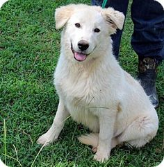Yardley, PA - Golden Retriever/Great Pyrenees Mix. Meet Seamus, a puppy for adoption. http://www.adoptapet.com/pet/11253337-yardley-pennsylvania-golden-retriever-mix