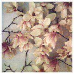 magnolias/alicia bock
