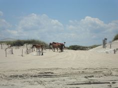 Wild Horses on Outer Banks Corolla, NC Beach