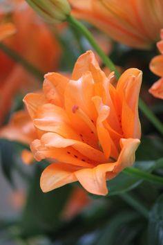 double lily by casper1830