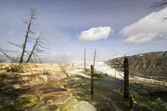 Dead trees in Terraces Hot Springs near Mammoth, Yellowstone National Park, USA