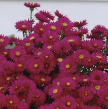 Alert Aster- Violet-red hardy asters flower from mid-August until frost on plants that grow 10 to 15 inches tall. Aster Flower, Plant Catalogs, Annual Plants, Trees And Shrubs, Flower Seeds, Garden Supplies, Pest Control, Vegetable Garden, Perennials