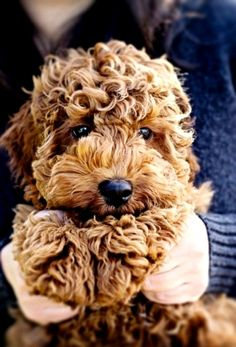 Goldendoodle puppy. Seriously adorable. I've been begging Daniellllllllll. We need!!!!!!!!