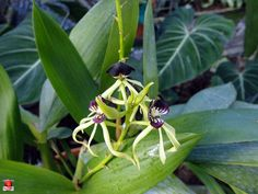 Orchids - Prosthechea cochleata - Orchidaceae - Origin Tropical America by fotoproze, via Flickr
